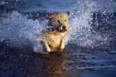 A Portuguese Water Dog splashing through water