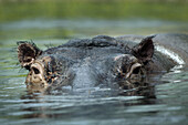 Hippopotamus swimming in water, close-up