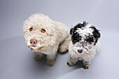 Two Portuguese Water Dogs looking forlornly up at the camera, side by side