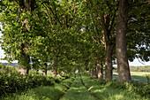 Tree-lined track, Altenhof, Eckernfoerde, Rendsburg-Eckernfoerde, Schleswig-Holstein, Germany