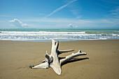 Driftwood on the beach, Parco Naturale della Maremma, Tuscany, Italy