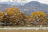 Schneegänse im Winterquartier, Anser caerulescens atlanticus, Chen caerulescens, Bosque del Apache, New Mexico, USA