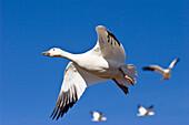 Snow Goose, Anser caerulescens atlanticus, Chen caerulescens, Bosque del Apache, New Mexico, USA