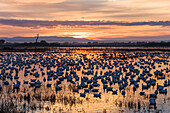 Snow Geese at sunrise, Anser caerulescens atlanticus, Chen caerulescens, Bosque del Apache, New Mexico, USA, outdoors, day, nobody