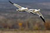 Snow Geese, Anser caerulescens atlanticus, Chen caerulescens, Bosque del Apache Wildlife Refuge, New Mexico, USA