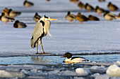 Grey Heron and ducks on ice, Ardea cinerea, Usedom, Germany, Europe
