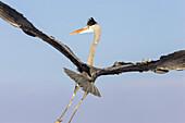 Grey Heron in flight, Ardea cinerea, Usedom, Germany