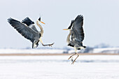 Grey Herons fighting, Ardea cinerea, Usedom, Germany, Europe