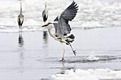 Grey Heron, Ardea cinerea, Usedom, Germany, Europe