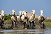 Camarguepferde laufen durchs Wasser, Camargue, Süd-Frankreich