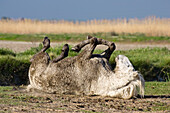 Camargue horse rolling on the ground, Camargue, France