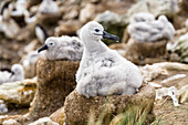 Young Black-browed Albatross on nest, Diomedea melanophrys, Falkland Islands, Subantarcic