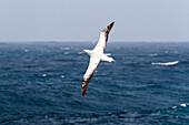 Wandering Albatross in flight, Diomedea exulans, South Polar Sea, Antarctic