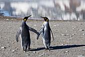 King Penguins, pair, Aptenodytes patagonicus, St. Andrews Bay, South Georgia, Antarctica, digitally altered