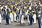 King Penguins, Aptenodytes patagonicus, Gold Harbour, South Georgia, Antarctica