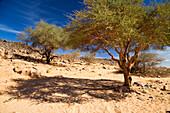 Acacia Trees in Wadi Mathendous, Wadi Barjuj, Stony Desert, Libya, Sahara, North Africa