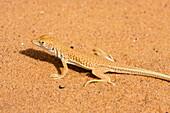 Lizard in the libyan Desert, Libya, Africa
