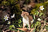 Weasel standing upright, Mustela nivalis, Germany