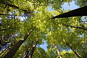 beech-forest in spring, Fagus sylvatica