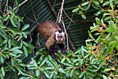 Capucin Monkey, Cebus apella, Rainforest, Tambopata National Reserve, Peru, South America