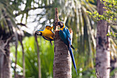 Blue-and-Yellow Macaws Macaws in rainforest, Ara ararauna, Tambopata National Reserve, Peru, South America