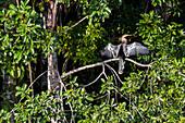 American Darter drying wings, Anhinga, Sandoval Lake, Tambopata National Reserve, Peru, South America