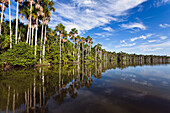 Mauriti Palm Trees, Buriti, Moriche Palms, at Sandoval Lake, Mauritia flexuosa, Tambopata National Reserve, Peru, South America