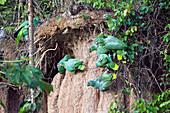Mealy Amazons at saltlick, Amazona farinosa farinosa, Tambopata National Reserve, Peru, South America