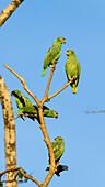 Mealy Amazons, Amazona farinosa farinosa, Tambopata National Reserve, Peru, South America