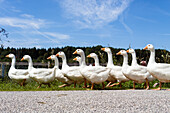 Domestic geese walking in a row, Upper Bavaria, Germany, Europe