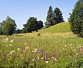 Upper Bavarian landscape, flowering meadow with Lythrum salicaria and Filipendula ulmaria, Germany
