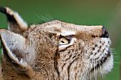 European Lynx looking up, Lynx lynx, Bavaria, Germany, captive