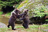 Young Brown Bears playing, Ursus arctos, Bavarian Forest National Park, Bavaria, Lower Bavaria, Germany, Europe, captive
