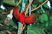 King Bird of Paradise, male, displaying, Cicinnurus regius, West-Papua, Irian Jaya, New Guinea, Indonesia