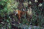 Indian Tiger snarling, Panthera tigris tigris, Bandhavgarh National Park, India