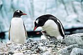 Gentoo Penguin with chick, Pygoscelis papua, Antarctic peninsula, Antarctica