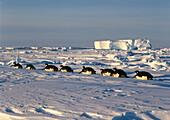 Emperor Penguins tobboganing on ice, Aptenodytes forsteri, iceshelf, Weddell Sea, Antarctica