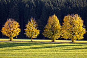 Maples in fall, Acer platanoides, Upper Bavaria, Germany