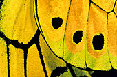 Wing detail of a male Goliath Birdwing Butterfly, Ornithoptera goliath samson, West Papua, Neuguinea, Indonesia, Asia