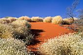 flowers in the Strzelecki Desert, South Australia, Australia