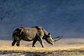 Black Rhinoceros, Diceros bicornis, Ngorongoro-crater, Tanzania, East-Africa