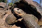 Galapagos Giant Tortoises, Chelonoidis nigra, Santa Cruz Island, Galapagos Islands, Ecuador, South America