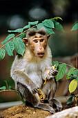 Bonnet Monkey, Macaca sinica, Sri Lanka