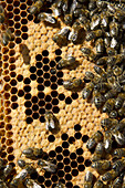 Colony of honey bees working in the hive and cells full of honey in La Rioja