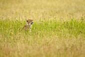 Cheetah in the grassland. Acinonyx jubatus.