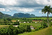 The Viñales Valley in Pinar del Rio, with its fields of snuff, hummocks, formations that rise on the horizon, royal palms and snuff curing houses are a synthesis of Cuban tropics.