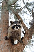a curious cute raccoon in a tree looking down