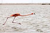 Flamingos at Rio Lagartos Natural Park: A place to watch wildlife and flamingos, Yucatan, Mexico.