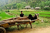 Vietnam, province of Hoa Binh, national Park of Cuc Phuong, Ban Ko Muong, transporting wood in oxcart.