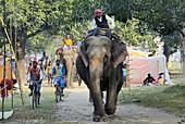 India, Bihar, Patna region, Sonepur livestock fair, Arrival of the elephants.